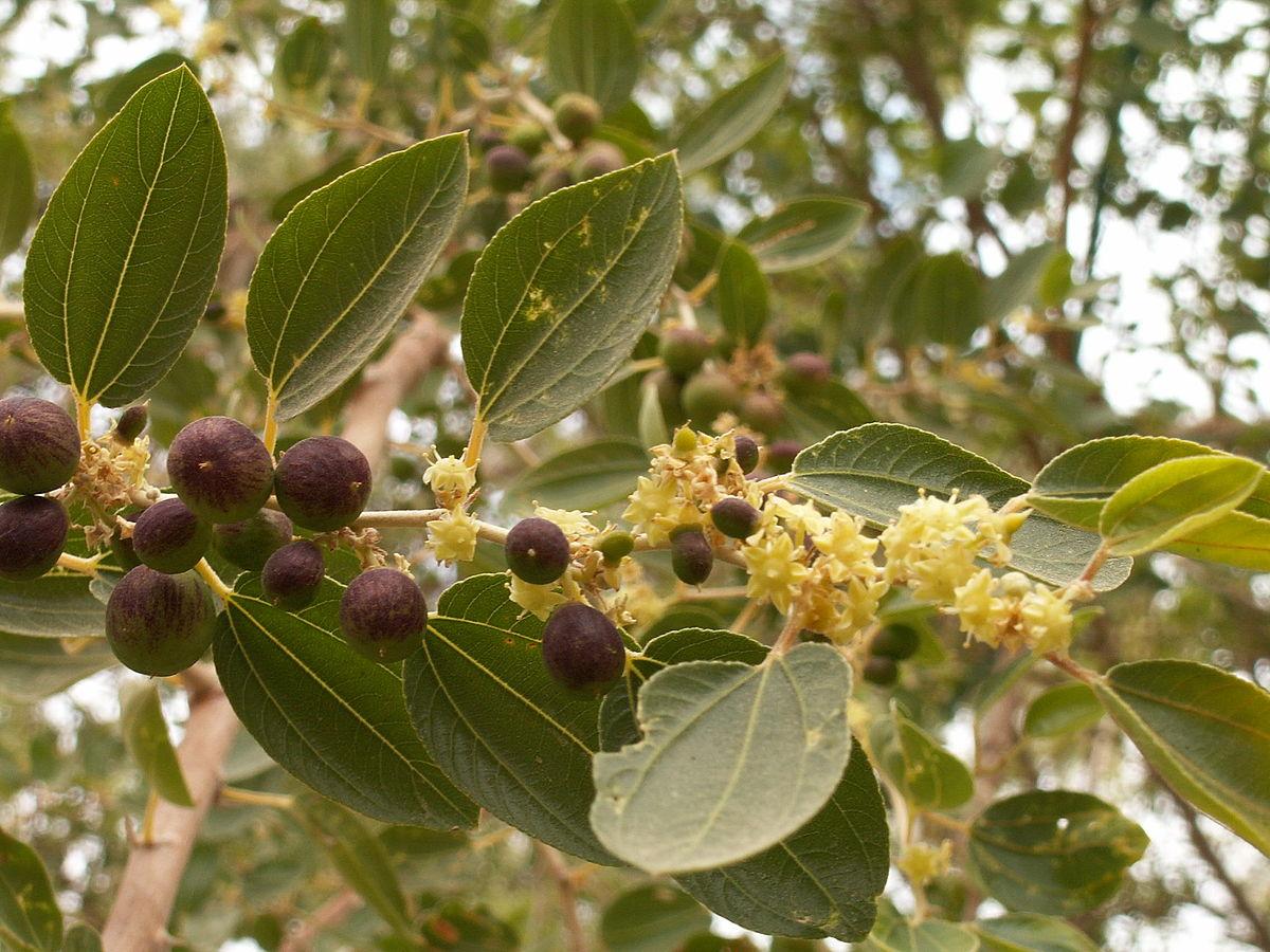 نبات السدر