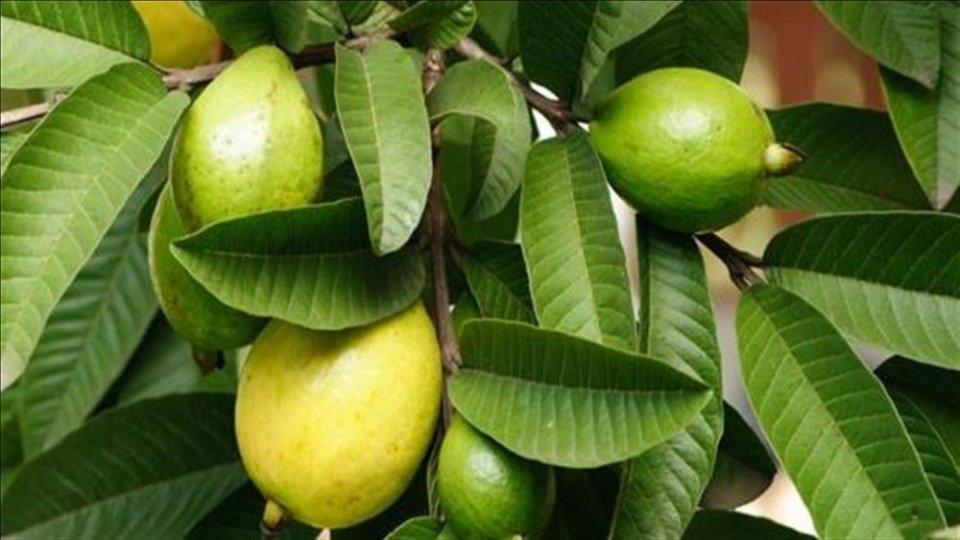 كيفية استخدام ورق الجوافة للتخلص من نوبات الكحة